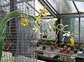 Ansellia africana flowers, Serres d'Auteuil, Paris, France.jpg