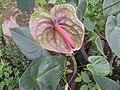 Anthurium andraeanum hybrid-1-hrs-yercaud-salem-India.jpg