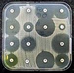 Birden çok küçük beyaz disk içeren bir agar plakası.  Bakteriler, disklerin yerleştirildiği yerler dışında agar plakasında eşit olarak büyüyor.  Disklerin etrafındaki açık alanlar antibiyotiklerin etkisini gösterir.