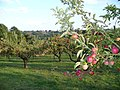 Apple Orchard by Mottynsden Farm - geograph.org.uk - 227520.jpg