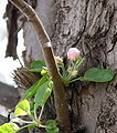 Apple tree in blossom May 2006 FLG 100676.JPG