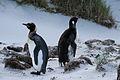 Aptenodytes patagonicus -East Falkland-8.jpg