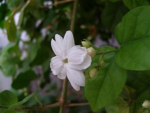Floral emblem - Jasminum sambac, the national flower of Indonesia and the Philippines.