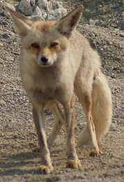 Arabian red fox.jpg