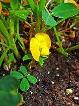 Arachis hypogaea 002.JPG