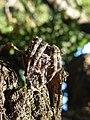 Araneus angulatus Albiano 01.jpg