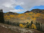 A photo of aspens in fall along the Crooked Creek Road.