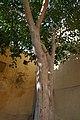 Arbre sacré à Jaipur (1).jpg