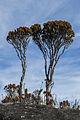 Arbustos sobre la superficie del Tepuy Roraima.jpg