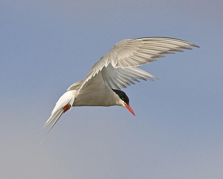 File:Arctic Tern (5300989441).jpg