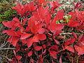 Arctostaphylos alpinus - autumn.jpg