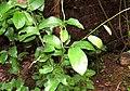 Aristolochia indica 09.jpg