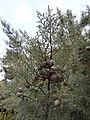 Arizona Cypress branch.jpg
