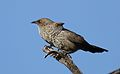 Arrow-marked Babbler, Turdoides jardineii, at Pilanesberg National Park, Northwest Province, South Africa (28054587644).jpg