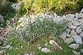 Artà - Ermita de Betlem - Asparagus albus 02 ies.jpg