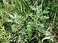 Artemisia pontica sl19.jpg
