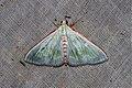 Arthroschista tricoloralis (Crambidae- Spilomelinae) (22458165689).jpg