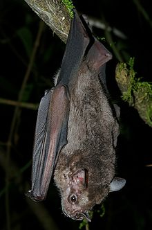 A Jamaican fruit bats hanging from a tree