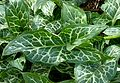 Arum italicum leaves J1.jpg