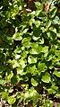 Asarum europeum, Aristolochiaceae 02.jpg