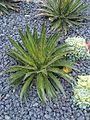 Asparagales - Agave filifera 1.jpg