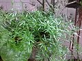 Asparagales - Asparagus adscendens 1.jpg