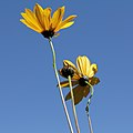 Asteraceae sp.-IMG 5578.jpg
