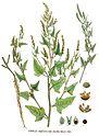 Atriplex hastata var. salina — Flora Batava — Volume v18.jpg