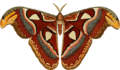 Attacus atlas ill.png