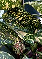 Aucuba japonica. Aukuba. Aucuba. 01.jpg