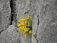 Aurinia saxatilis (L.) Desv.jpg