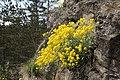 Aurinia saxatilis TK 2021-04-22 4.jpg