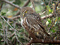 Austral Pygmy-owl.jpg