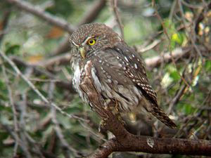 Austral pygmy owl - Image: Austral Pygmy owl