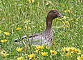 Australian Wood Duck JCB.jpg