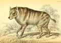 Azara strand hyena.png
