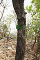 Bénin-Parkia biglobosa (1).jpg