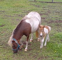 Baby and mom mini shetland1.JPG