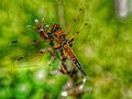 Backyard Dragonfly (34814512460).jpg