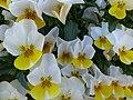 Bad Sassendorf – Viola x cornuta - Hornveilchen - panoramio.jpg