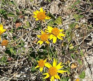 Bahiopsis parishii - Image: Bahiopsis parishii 2