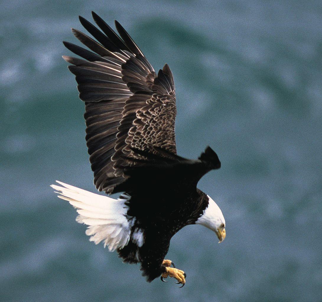 File:Bald eagle landing.jpg - Wikimedia Commons