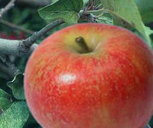Baldwin (apple) - Image: Baldwin(apple)