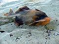 Balistoides viridescens 09629 nevit.jpg
