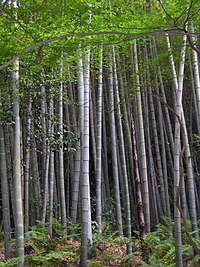 200px-Bamboo forest