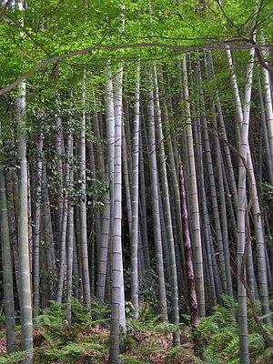 Moso Bambus Wikipedia