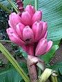 Banana rosa.jpg