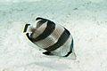 Banded butterflyfish Chaetodon striatus (3471817299).jpg