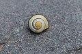 Banded snail shell.jpg