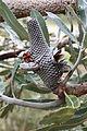 Banksia menziesii infructescence Gnangarra 1.jpg